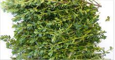 Tymián - Nejlepší bylinka na bolesti žaludku, průjem, artritidu, bolest v krku, chřipku ...