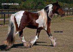 Gypsy Vanner Horses for Sale | Stallion | Skewbald | Elvis