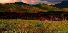 Sugar Cane Field, Kauai, HI