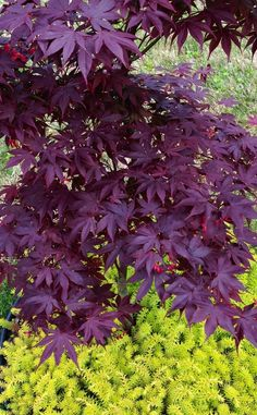 Sedum 'Angelina' underneath 'Bloodgood' Japanese Maple for contrast. Photo of Stonecrop (Petrosedum rupestre subsp. rupestre 'Angelina') uploaded by clintbrown