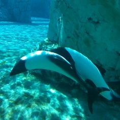 Gorgeous Commerson's Dolphins are swimming around.