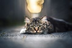 It's So Fluffy - Felicity Berkleef Photography - I spotted this fluffy cat when I returned home! I first thought to let it go but I could not resist that fluffy fur and those beautiful eyes so I grabbed my camera. He was first a bit frightened ... http://ift.tt/2bvUYsD IFtemppicpinned in Building blocksdownld in ios #August 24 2016 at 09:24PM#via IF