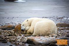 Sleepy Polar Bear in Churchill Manitoba, Canada