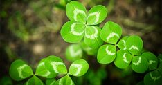 Good Luck Four Leaf Clover. {Photograph by Jelena Veskovic} Happy St.<<I find these a lot in my backyard but it's still cool! Mortgage Protection Insurance, Impression Poster, Mortgage Interest Rates, Mortgage Rates, Run Out, Art Mural, Home Ownership, Four Leaf Clover, House Prices
