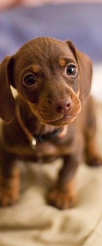 352f679ebd5a6 Puppy love - dachshund one day! Cannot wait to own a dachshund