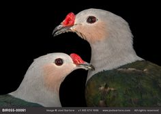 Photo Ark Photographing the world's animals to help stop the extinction crisis: Two red-knobbed imperial pigeons (Ducula rubricera) at the Houston Zoo.