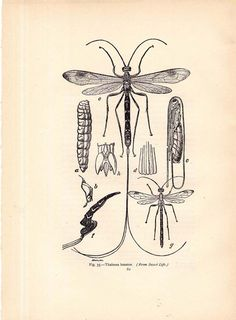 41d96c1cdffdc3573eb4a5bce243840c edwardian era wasp here is a diagram of the caddis fly life cycle look carefully at