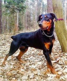 Jin, #Dobermann, 3 Jahre, katzen- und hundeverträglich