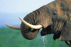 Elefant im Addo Nationalpark - Best of Südafrika