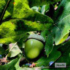 """Oak Nut"" The story behind this picture:  https://www.facebook.com/photo.php?fbid=507932925951938&set=a.507932875951943.1073741838.481203088624922&type=3&theater  #photography #fotografie #print #landschap #licht #bos #bomen #groen #bladeren #blad #herfst #wandeling #walk #oak #eik #eikel #eikenoot #nut #noot #flevoland #almere #natuur #decoratie #decoration #interieur #sfeer #perspex #poster #artprint  #gift #kado #laaurelia #aurelia #iphoneonly #autumn #indiansummer #september #fall"