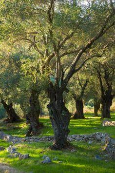 Ancient Olive Trees in Corfu, Greece, Photo Art Sites, Tree Forest, Olive Tree, Flowering Trees, Green Trees, Greek Islands, Beautiful Gardens, Fine Art America, Greece Travel