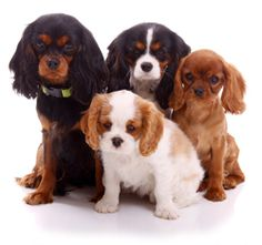 Cavalier King Charles Spaniel Club of Greater Houston - Breeder Referral