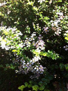 Mapiju, com flores delicadas e folhas que espetam.