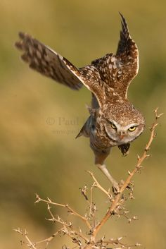 Burrowing Owl Taking Flight
