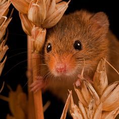 ~~ Field Mouse Close Up ~~