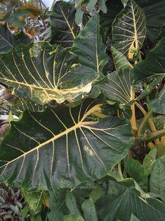 "Alocasia ""New Guinea Gold"" elephant ear Macrorrhiza plant"
