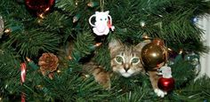Deck the Halls with Boughs of Cats