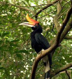 Rangkong...@Borneo Rain forest