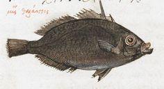 Fish. 2nd quarter of the 16th century-3rd quarter of the 16th century Manuel Philes, De animalium proprietate British Library Burney MS 97 f44r