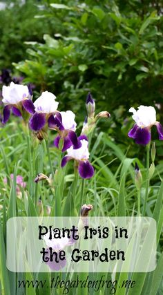 Plant Iris in the garden for spring blooms and for the leaves as a backdrop to other summer perennials in the garden beds. Iris Garden, Garden Beds, Home And Garden, Garden Frogs, Spring Blooms, Garden Projects, Beautiful Gardens, Perennials, Planting Flowers