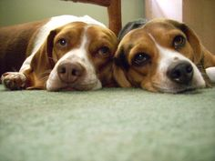 Our Bagels :)- SO CUTE!!  Need to get Daisy another beagle friend! Yesh!