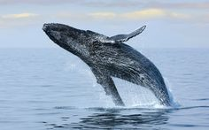 From Iceland to Scotland via Baja California, Mark Cawardine lists his   favourite locations for whale-watching holidays