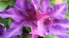 Purple Clematis Versailles