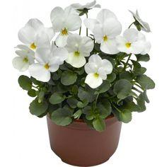 Stemor småbl 12 cm hvit Plants, Flowers, Planters, Garden