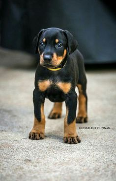 The Doberman Pinscher is among the most popular breed of dogs in the world. Known for its intelligence and loyalty, the Pinscher is both a police- favorite I Love Dogs, Cute Dogs, Doberman Pinscher Puppy, Doberman Puppies, Black And Tan Terrier, Sweet Dogs, Doberman Love, Akita, Training Your Dog