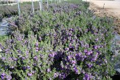 Texas Heavenly Sage! I have one in my front yard! I love it!