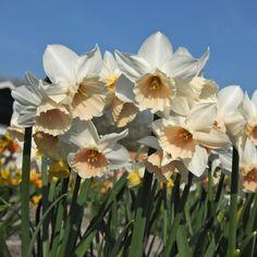 'Katie Heath' ist eine wunderschöne Narzisse in zartem Rosa. Pflanzzeit ist Herbst - online erhältlich bei www.fluwel.de