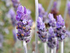 lavender attracts pollinators to your garden