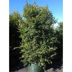 Image result for resilience lilly pilly African Plants, Backyard Plants, Shrubs, Australia, Granny Smith, Flowers, Gardening, Image, Board