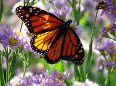 monarch butterfly Butterfly Drawing, Butterfly Wallpaper, Butterfly Wings, Monarch Butterfly Migration, Butterfly Pictures, Close Up Photos, Zinnias, Beautiful Butterflies, Beautiful Flowers