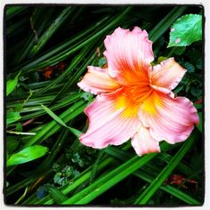 Day lily from my garden. Pretty peachy color.