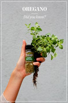 An herb with history. After World War II, soldiers returning from Italy popularized oregano—an herb they had learned to love with pizza. Today, it's used in cooking from Europe to the Philippines, flavoring everything from kebabs to salad dressings.