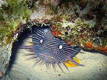Finding the Splendid Toadfish in Couzmel is a great way to spend a dive.