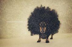Crazy adorable Dachshund wearing an afro wig. Cute for halloween or any day your pup is feeling festive! Love My Dog, Funny Animals, Cute Animals, Baby Animals, Dachshund Love, Daschund, Dachshund Humor, Dapple Dachshund, Weenie Dogs