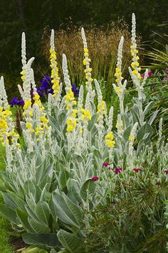 Linda Cochran's Garden: Verbascum Bombyciferum (Giant Silver Mullein)  Zones 3-9; full sun; low water needs - once established give deep irrigation every 4 to 6 weeks.
