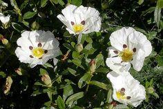 Cistus Ladanifer, The Rock Rose Shrub. Planted 2012? Backyard