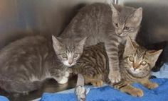 KITTENS - FREE ***URGENT***: Domestic Long Hair, Cat; Knoxville, TN