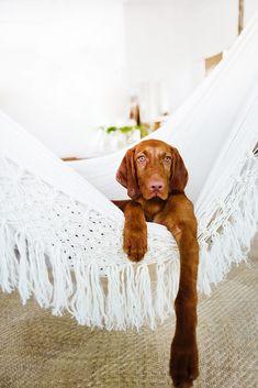 Wirehaired Vizsla dog #wirehairedvizsla #vizsla #doggy #puppy #hamaca #hungarianvizsla #white #tulum