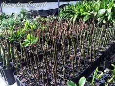 Reproducción intensiva de Begonias por esquejes