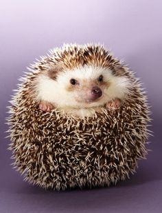 ALL OF THE HEDGEHOGS
