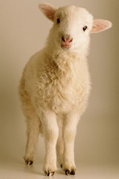 Awww! I'm so getting a little lamb now... & everyone has to start calling me Mary!