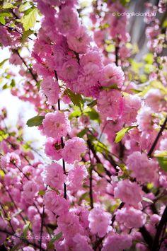 Szép tavaszi díszcserje, ami talán mára már veszített valamit népszerűségéből, régen viszont egyetlen előkertből sem hiányozhatott.
