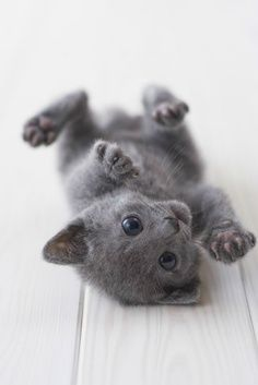 russian blue...I will have a kitty again! and a dog, maybe some chickens, and fish...oh boy!