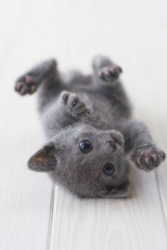 Russian Blue #kitten #cuteness