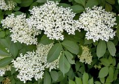 Elders are deciduous trees or large shrubs of woodlands and other wild areas. Read our handy guide on Elder at Love The Garden! Dandelion Flower, Hibiscus Flowers, Lavender Flowers, Edible Flowers, White Flowers, Garden Trees, Garden Plants, Elderberry Flower, Rose Petal Jam
