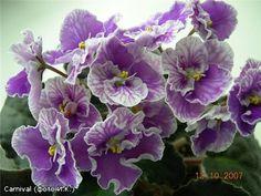 Carnival. A fancy frilled cultivar of African Violet.